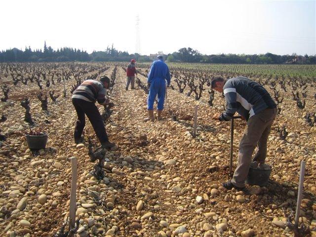 Plantation des nouveaux ceps
